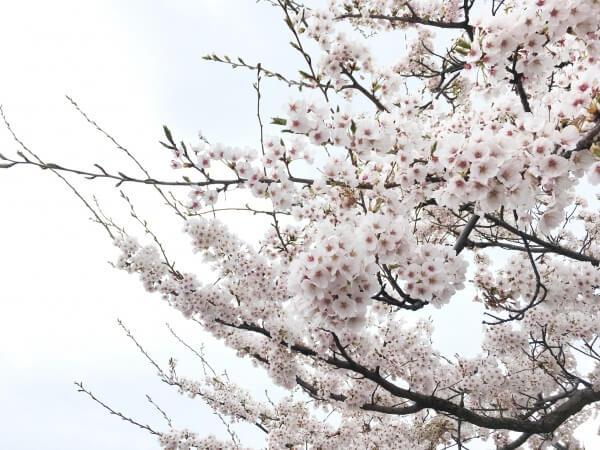 """万代テラスの桜が見ごろです❤"""""""