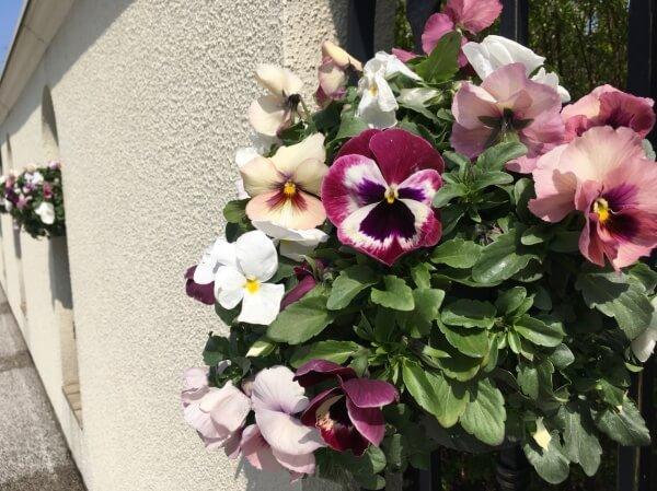 新潟市結婚式場 ブレストン 広場 ガーデン 花 フラワー パンジー