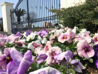 ブレストン広場に春がやってきました❤