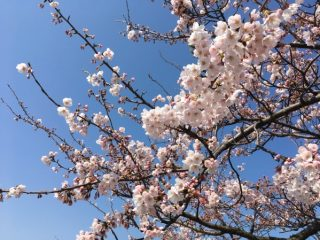桜餅のようなほっとする香り❤SAKURAフレーバーティ*